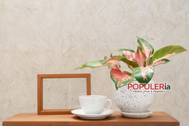 tanaman aglonema Top 15 Tanaman Hias Daun yang Menyegarkan dan Menarik Mata